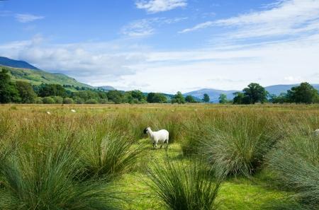 Scotland, summer landscape, sheep on a marchy plains Stock Photo - 20329424