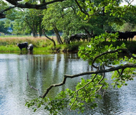 Scotland, summer landscape, cattle at river  Lochay close to its confluence with river Dochard Stock Photo - 20328878