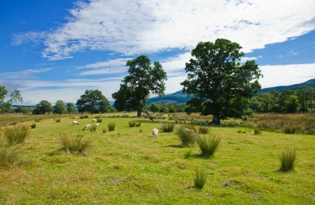 Scotland, summer landscape, sheep on a marchy plains Stock Photo - 20328889