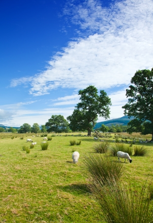 Scotland, summer landscape, sheep on a marchy plains Stock Photo - 20328883