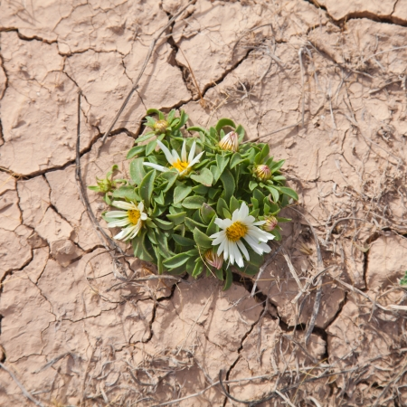 adverse: flowering Asteriscus schultzii  on dry cracked earth background