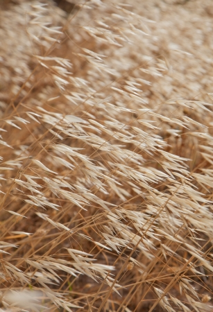 canariensis: Avena canariensis, canarian oats, dry plant background