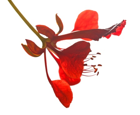 flamboyant: Single flower of Delonix regia isolated, macro