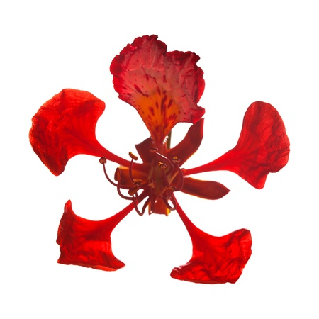 Single flower of Delonix regia isolated photo