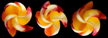 frangipani flower isolated on black photo