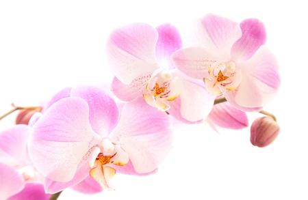 hybridization: light magenta phalaenopsis orchis isolated on white,