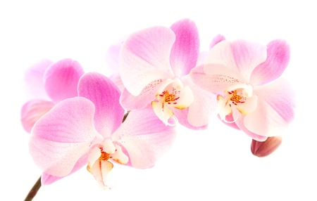 light magenta phalaenopsis orchis isolated on white,