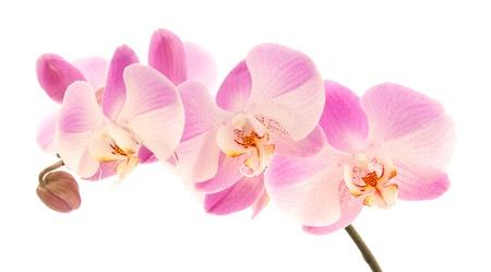 hybridization: light magenta phalaenopsis orchis isolated on white,  Stock Photo