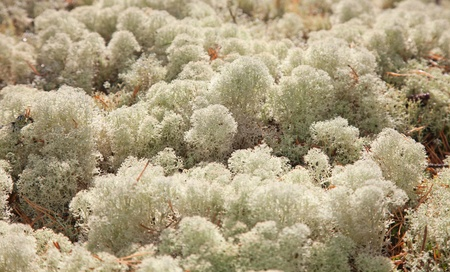 reindeer moss isolated on white photo