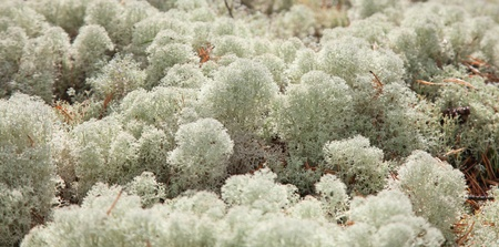 natural nackground of reindeer lichen on the forest floor photo