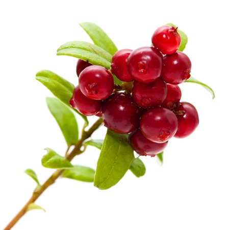 Vaccinium vitis-idaea,lingonberry branch with berries and leaves isolated Imagens