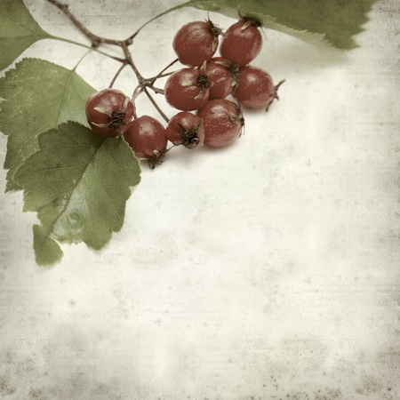 textured old paper background with hawthorn berries  photo