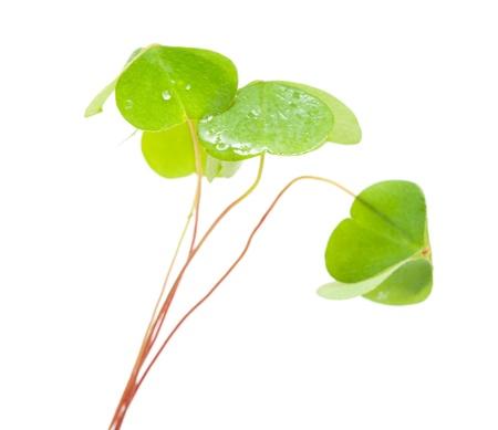 false shamrock: green wet folded oxalis leaves isolated on white background
