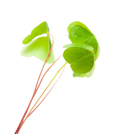 sour clover: green wet folded oxalis leaves isolated on white background