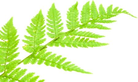 fractality: green fern leaf isolated on white background Stock Photo