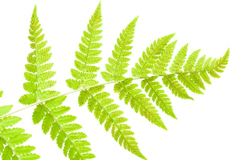 fractality: green underside of a fern leaf isolated on white background