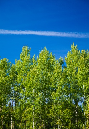 northern summer - aspens an contrail photo