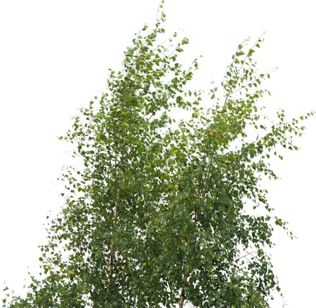 betula pendula: two young silver birches trees isolated on white