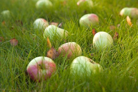 fallen fruit: autumn - ripe apples of old variety in  green grass, some fallen leaves