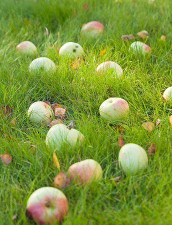 autumn - ripe apples of old variety in  green grass, some fallen leaves photo