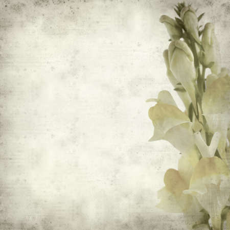 common snapdragon: textured old paper background with yellow toadflax flower