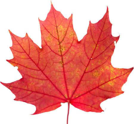 carotenoid: hojas de colores oto�ales aislados