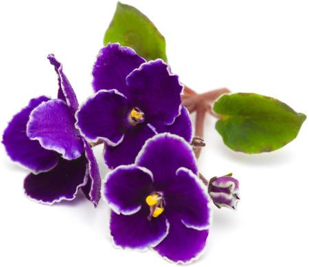 Afrikaans viooltje geïsoleerd op wit Stockfoto