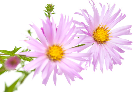 asters: perennial  asters