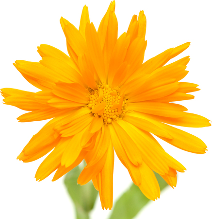 calendula flowers  Stock Photo - 22480131