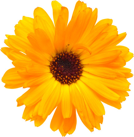 calendula flowers  photo