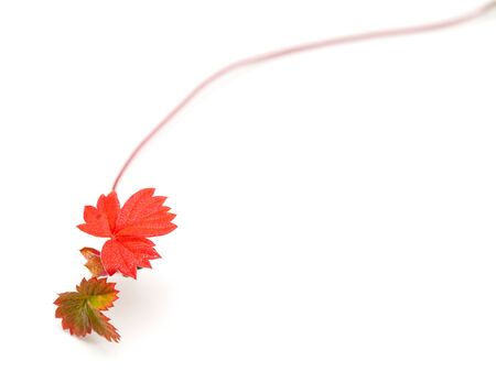 seekers: wild strawberry seekers, autumnal, isolated on white
