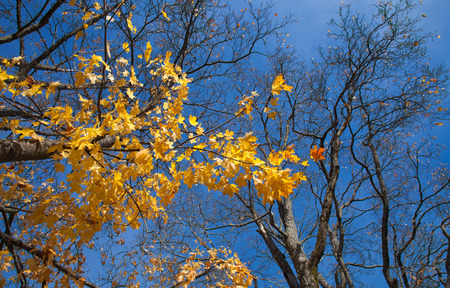 wide-angle shot of autumnal maple against blue sky photo
