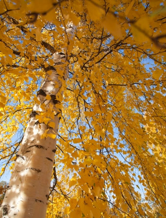 silver birch, wide angle shot of autumnal foliage photo