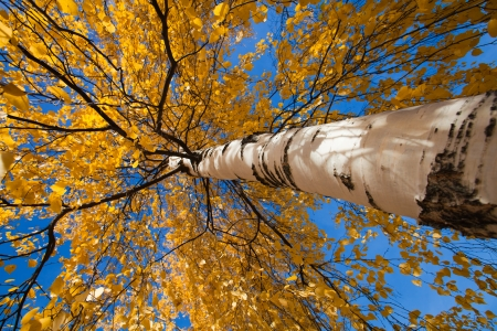 wide-angle upwards shot of autumnal silver birch photo