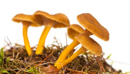Yellowfoot mushroom growing, isolated on white Stock Photo - 22820978