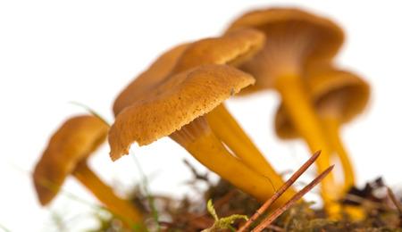 symbiotic: Yellowfoot mushroom growing, isolated on white Stock Photo