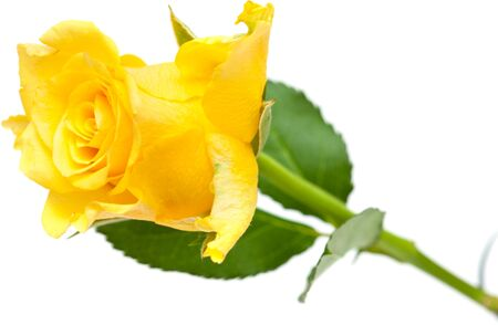 yellow rose isolated on white photo