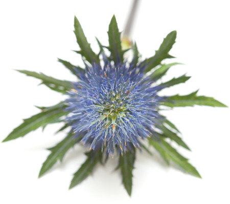 steely: Eryngium isolated on white Stock Photo
