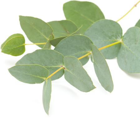 eucalyptus isolated, on white surface Standard-Bild