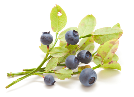 small branches of bilberry bush isolated on white