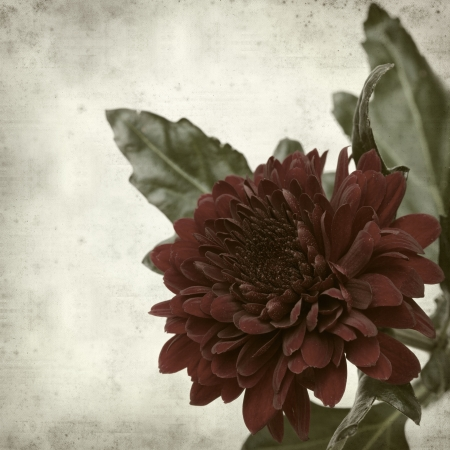textured old paper background with red chrysanthemum photo