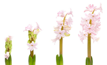 hyacinth opening, isolated on white photo