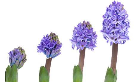 opening pink hyacinth, process over a few days, isolated on white photo