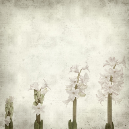 textured old paper background with opening hyacinth; Stock Photo - 24404990