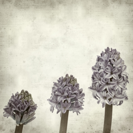 textured old paper background with opening hyacinth; photo