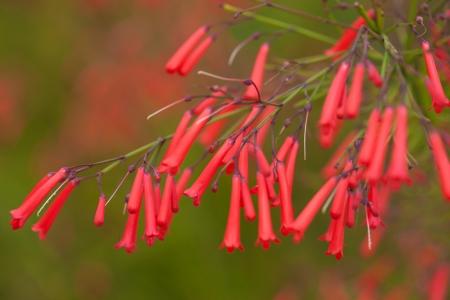 Russelia equisetiformis, Firecracker plant photo