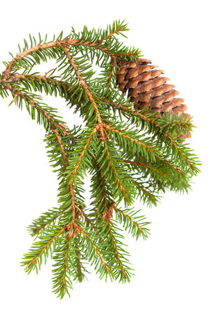 picea: spruce tree branch with cone isolated on white background