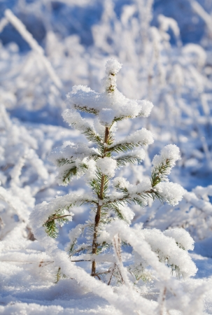 ���little one���: Little one - small Christmas tree in fresh snow