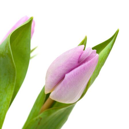 lilac tulips isolated on white background photo