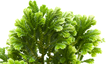 allies: Selaginella, florist tropical moss isolated on white background Stock Photo